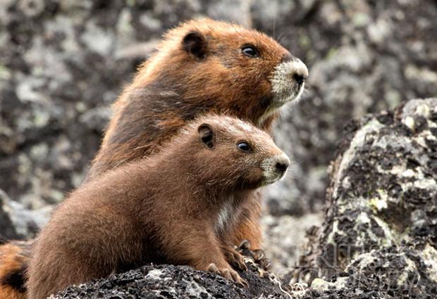vancouver island marmots  u2022 british columbia magazine
