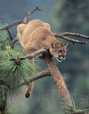 What To Do If You Meet A Cougar British Columbia Magazine