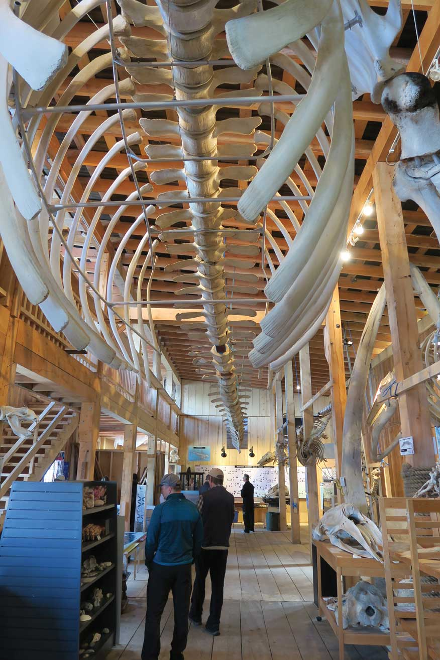 60-foot fin whale skeleton