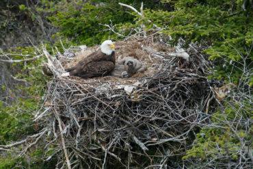 Bald eagles mate for life and both parents are involved in the rearing of their young. Photo by Paul Reeves/Dreamstime.