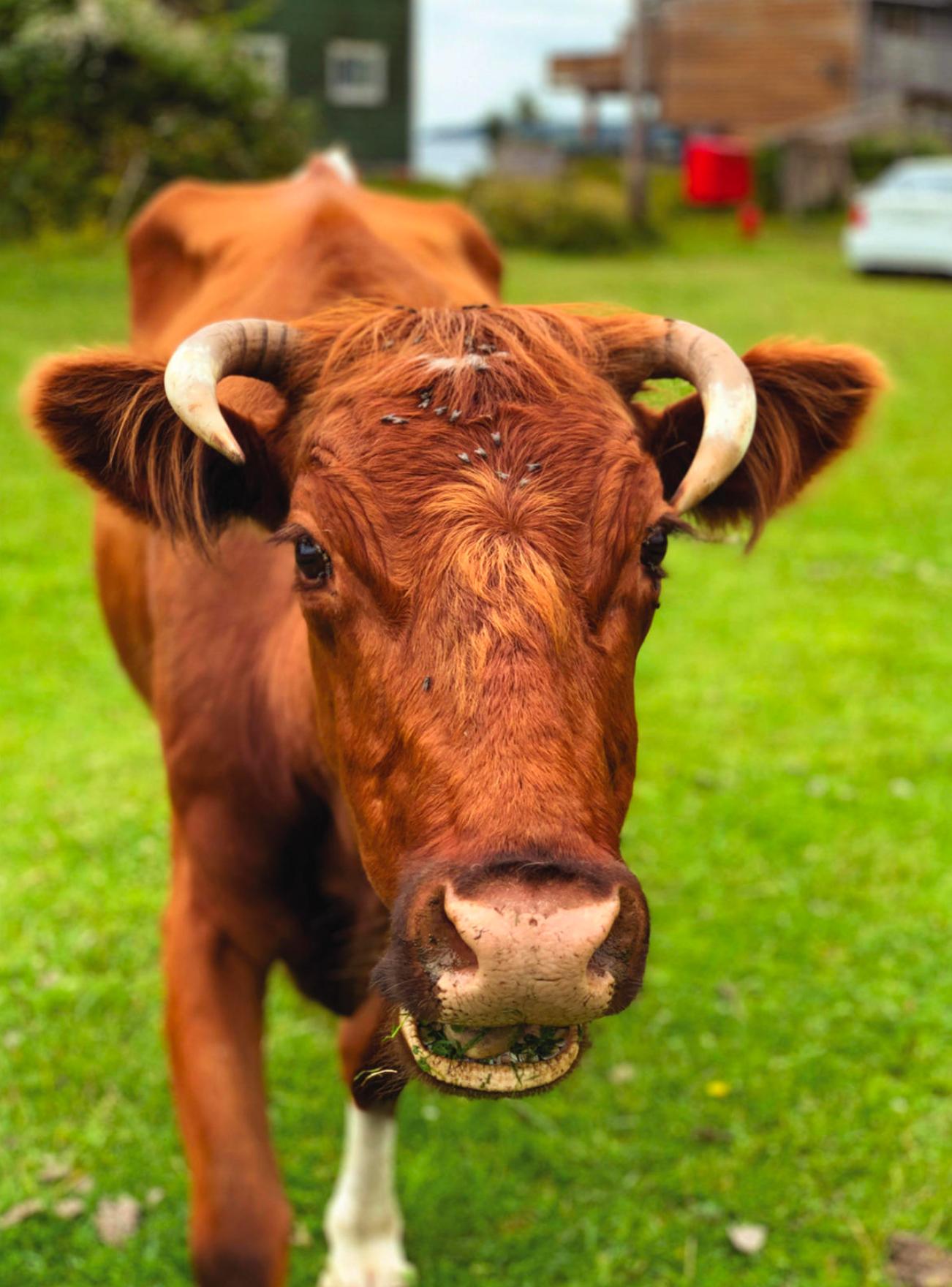 Where the Cows Roam Wild. Photo by Jane Mundy.